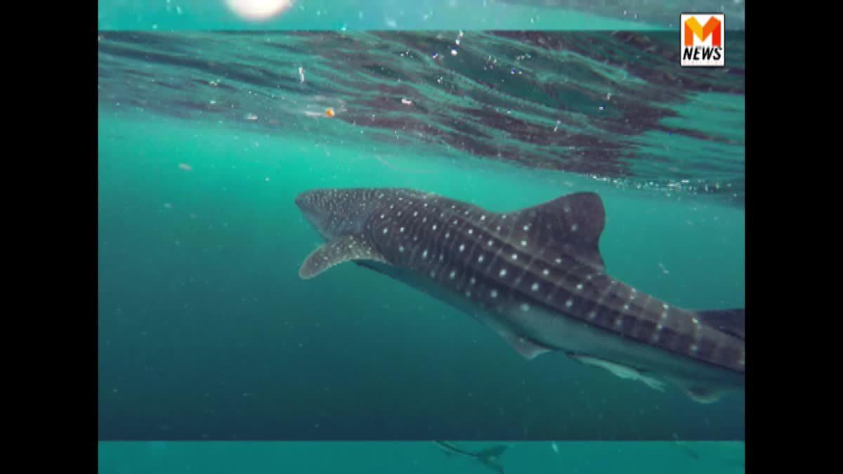 ตื่นตา! ฉลามวาฬลายจุด โผล่ทะเลสามร้อยยอด