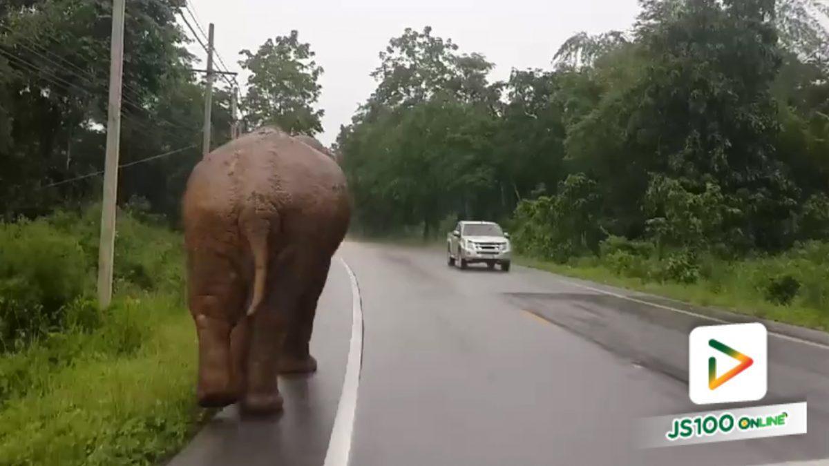 เจ้าหน้าที่ตะโกนไล่ช้างพลายบุญมี ให้กลับเข้าป่า เพื่อความปลอดภัย (29-4-61)