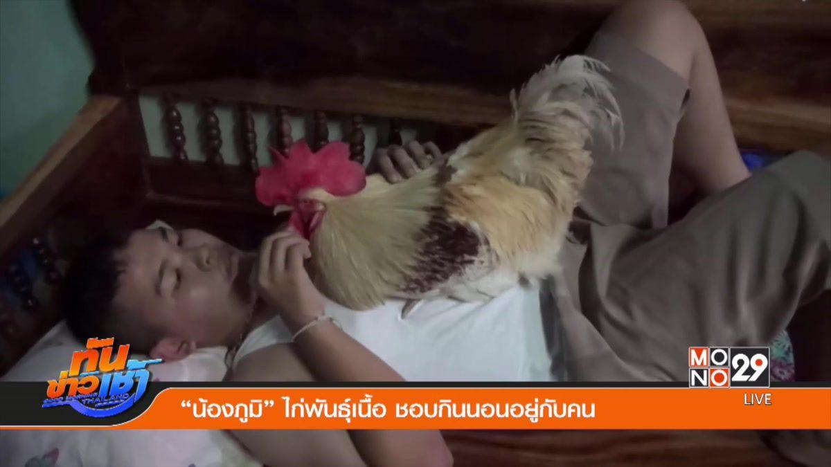 """""""น้องภูมิ"""" ไก่พันธุ์เนื้อ ชอบกินนอนอยู่กับคน"""