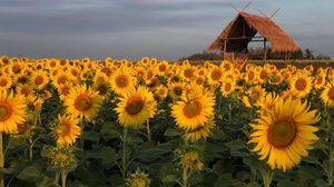 เป๋าตุงฟาร์ม จ.นครสวรรค์ ชมทุ่งทานตะวัน และดอกคอสมอส ชูช่อโต้ลมหนาว