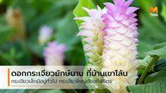 เปิดเทศกาล ชมดอกกระเจียวยักษ์บาน ที่บ้านเขาโล้น จ.พิจิตร