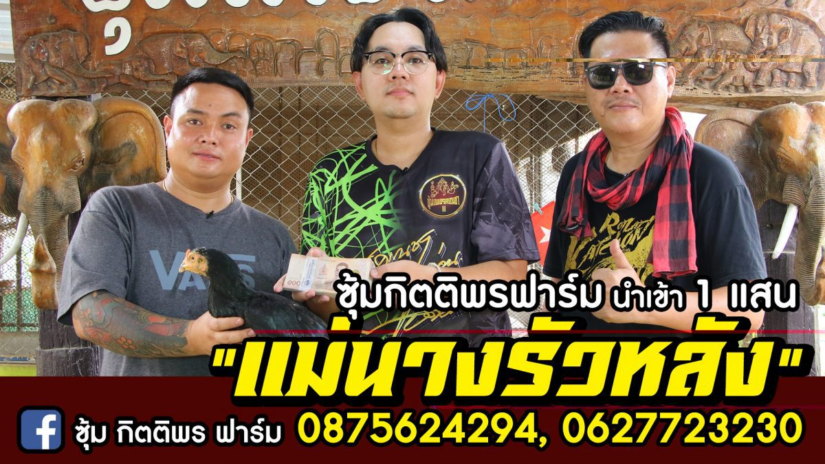 """กิตติพรฟาร์ม รับมอบ """"แม่นางรัวหลัง"""" เพชรคเณชา 100,000 บ. Cock fighting Thailand"""