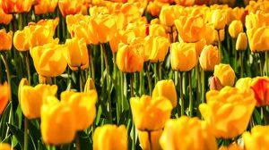 ดอกทิวลิป ชื่อ King Bhumibol