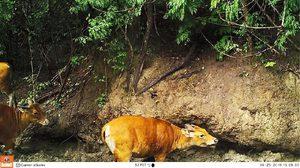 น่าชื่นใจ! ลูกวัวแดงตัวที่ 6 ที่เกิดในธรรมชาติ จากโครงการปล่อยวัวแดงคืนสู่ป่า