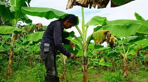 กำนันเมืองพัทลุงโค่นยาง ปลูกพืชตามแนวพระราชดำริ