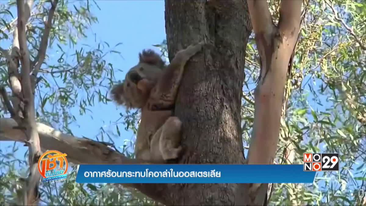 อากาศร้อนกระทบโคอาล่าในออสเตรเลีย