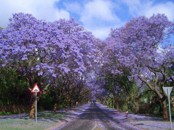 อุโมงค์ต้นไม้สุด Unseen ทั่วโลก jacarandas-walk-south-africa