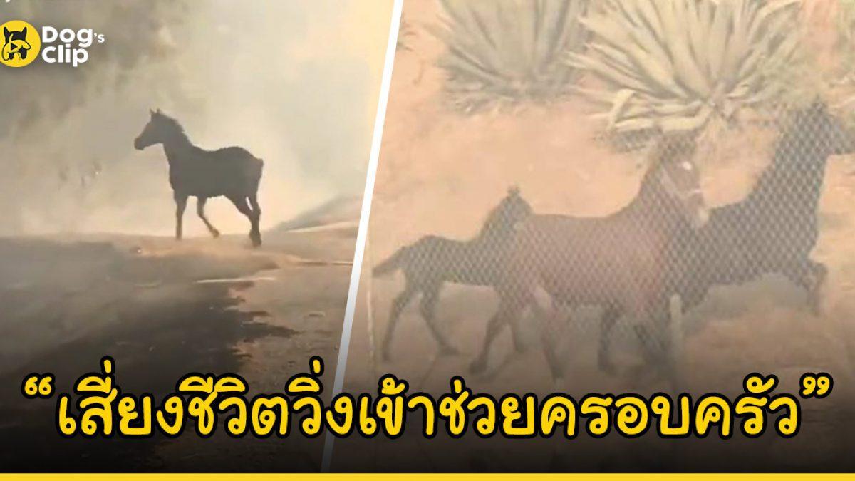 ม้าหนุ่มเสี่ยงชีวิตวิ่งเข้าไปในไฟป่าที่กำลังโหมกระหน่ำ เพื่อนำทางครอบครัวออกมายังที่ปลอดภัย