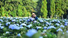 วิวหลักล้าน! ทุ่งดอกไฮเดรนเยีย โครงการหลวงขุนแปะ บานสะพรั่งกลางขุนเขา