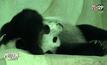 """สวนสัตว์เชียงใหม่ลุ้น """"หลินฮุ่ย"""" ตั้งท้อง"""