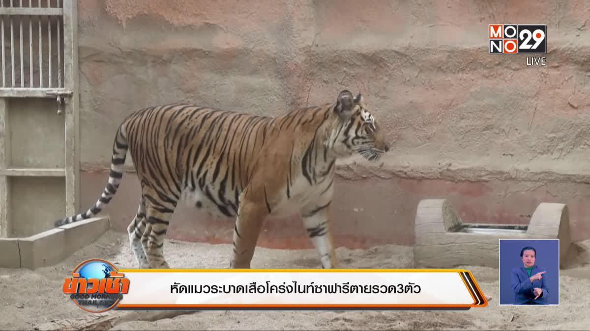 หัดแมวระบาดเสือโคร่งไนท์ซาฟารีตายรวด 3 ตัว