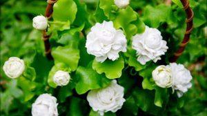 ปากคลองตลาดคึกคักประชาชนแห่เลือกซื้อดอกมะลิเนื่องในช่วงเทศกาลวันแม่แห่งชาติ