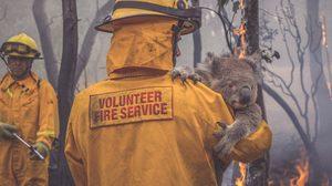 เศร้า ! ไฟป่าครั้งใหญ่ในออสเตรเลียอาจทำให้โคอาล่าสูญพันธุ์