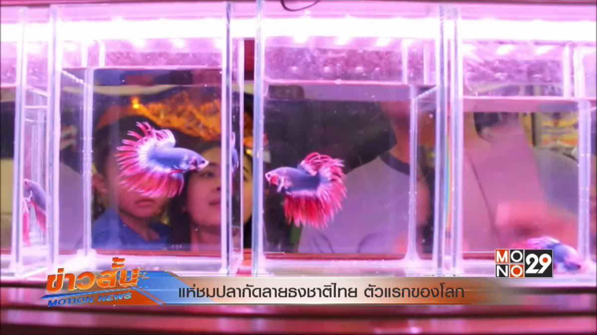 แห่ชมปลากัดลายธงชาติไทย ตัวแรกของโลก