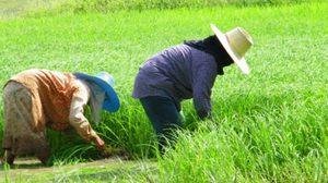 เอาแน่ ! ก.เกษตรฯของบจ่าย 3 หมื่นต่อครัวเรือน จ้างชาวนาเลิกปลูกข้าว