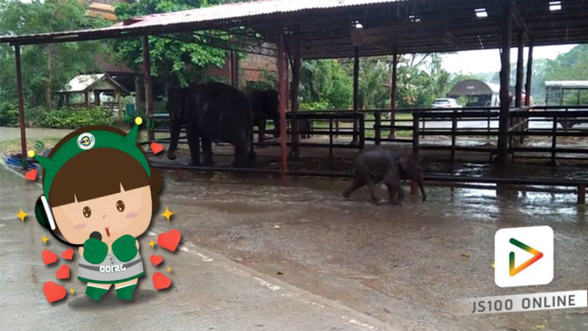 คลิปน้องช้างวิ่งเล่นน้ำฝนสนุกสนาน จ.อยุธยา (13-03-61)