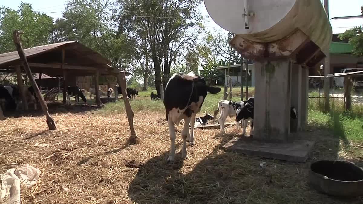 วัวนมตกลูกครั้งเดียว 4 ตัว ชาวบ้านไม่พลาดแห่ตีเลขเด็ด
