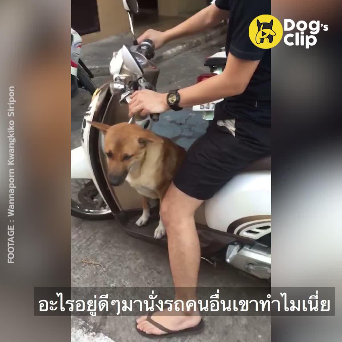 น้องหมาทำเนียนตีมึนขึ้นรถไม่ยอมลง เจ้าของรถเลยพากิน พาเที่ยวซะเลย   Dog's Clip