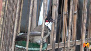 บุกจับ! ชาวบ้านลอบเลี้ยง 'นกปรอดหัวโขน' ยึด 5 ตัว ส่งคลินิกสัตว์ป่า
