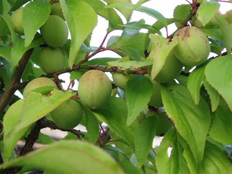 บ๊วย (Chinese plum, Japanese apricot)