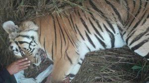 เสือโคร่งถูกยิงบาดเจ็บที่ลำปางตายแล้ว !!  แม้จนท.ทำทุกทางเพื่อยื้อชีวิต