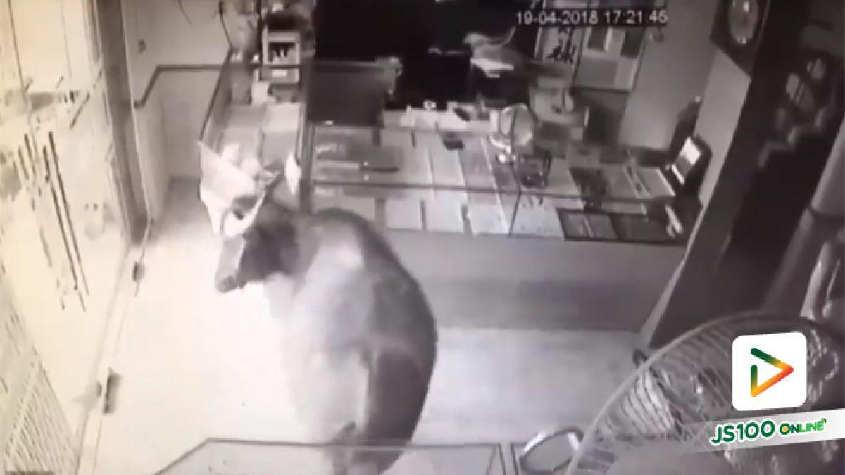 คลิปน้องควายวิ่งบุกเข้าร้าน (24-04-61)