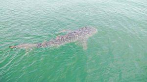 ตื่นตา ฉลามวาฬ โผล่ทะเลประจวบฯ หากินปลาที่ อ่าวคั่นกระได