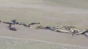 สะเทือนใจ! วาฬนับร้อยเกยตื้นตายริมชายหาดนิวซีแลนด์ ไร้ทางช่วย
