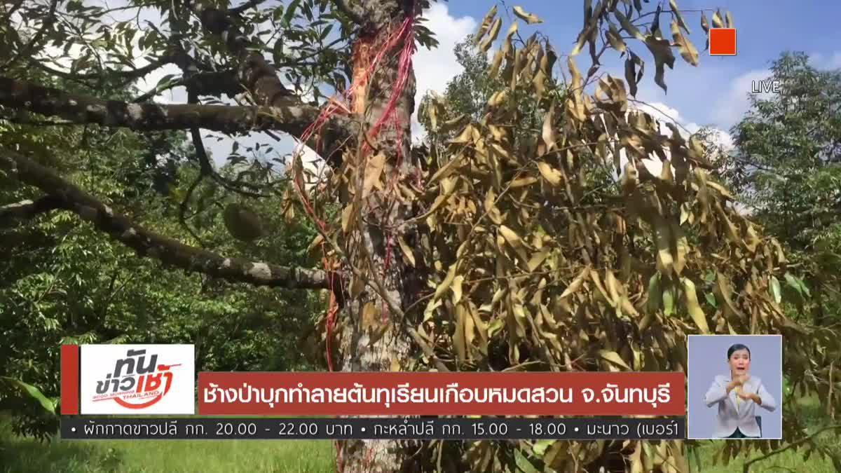 ช้างป่าบุกทำลายต้นทุเรียนเกือบหมดสวน จ.จันทบุรี