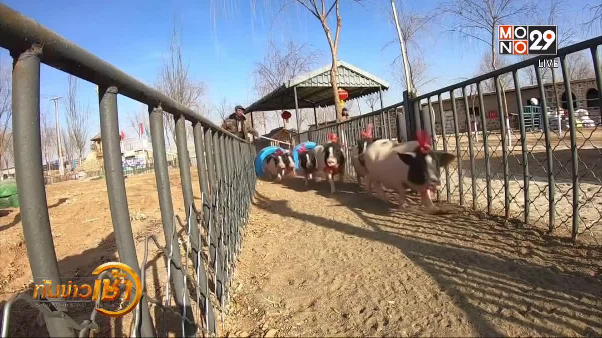 ฟาร์มจีนเตรียมจัดแข่งวิ่งหมูรับปีกุน