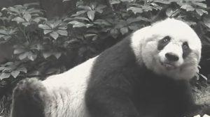 สวนสัตว์ในฮ่องกง ทำการุณยฆาตแพนด้าป่วยหนัก