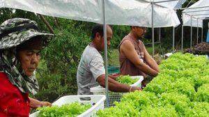 เกษตรกร จ.สงขลา ปลูกผักสลัดระบบไฮโดรโปนิกส์ ส่งขายได้ทั้งปี