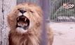 ช่วยเหลือสิงโตในสวนสัตว์โรมาเนีย