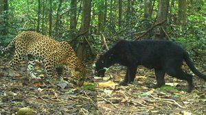 น่าชื่นใจ! เสือดำ-เสือดาว โผล่อวดโฉมที่แก่งกระจาน