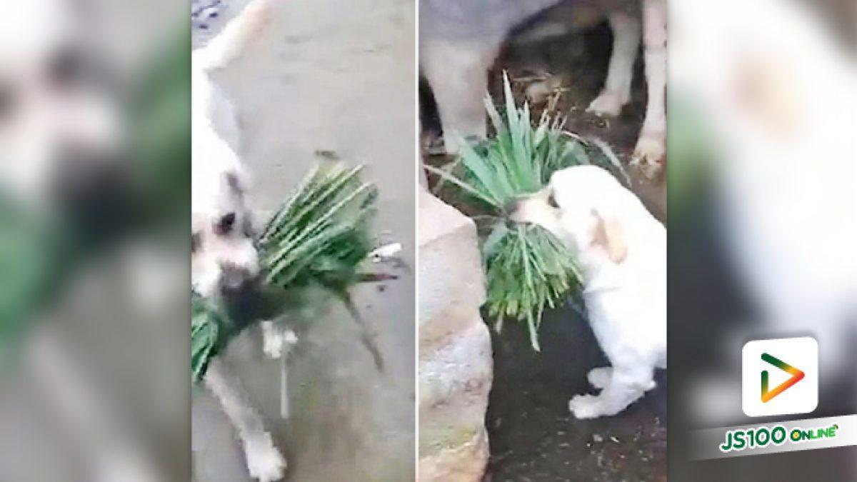 """คลิปเจ้าตูบแสนรู้วิ่งคาบหญ้าให้ """"ควาย"""" สัตว์เพื่อนรักต่างสายพันธุ์ ในประเทศอินเดีย (26-07-62)"""