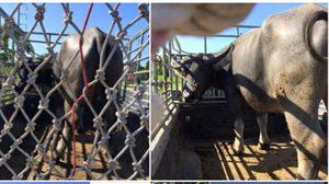 ปศุสัตว์แจง ปมควายถูกไถ่ชีวิตแต่ไปโผล่โรงฆ่าสัตว์อีก ด้านผู้ว่าฯ สั่งสอบด่วน