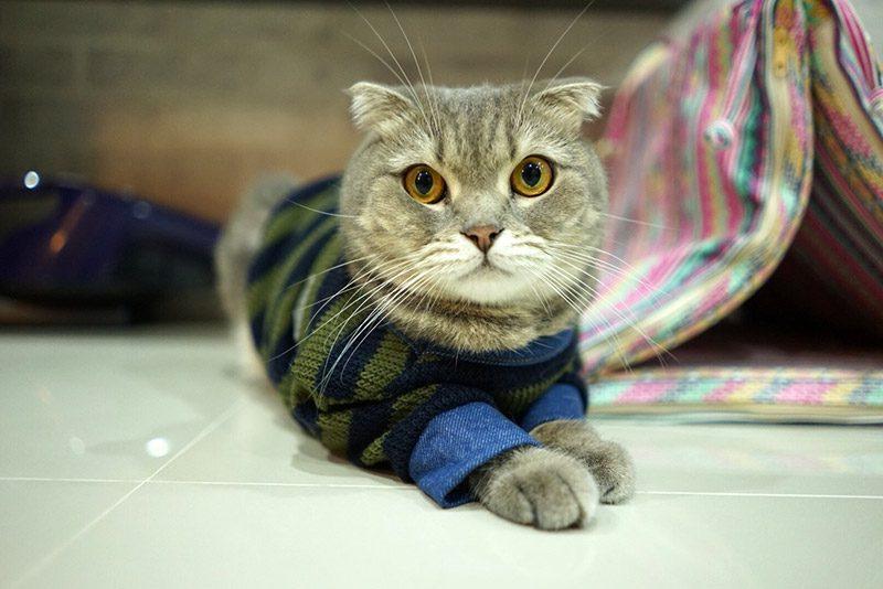 ฮาชิแมวสาวรัสเซีย