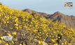 ดอกไม้ป่าบานสะพรั่งในทะเลทรายสหรัฐฯ