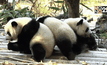 สวนสัตว์จีนโชว์แพนด้ายักษ์แฝดสาม