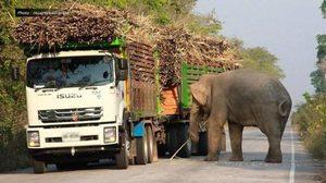 เข้มจุดจราจร 'เขาอ่างฤๅไน' หลังพบช้างป่าตั้งด่าน ดักกินของท้ายรถบรรทุก