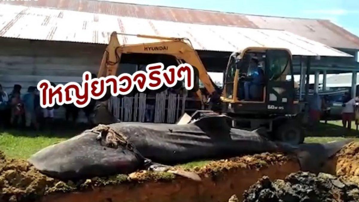 อินโดนีเซียผงะอีก! เจอซากฉลามวาฬยักษ์ เกยตื้น ยาว 7 เมตร หนัก 2.5 ตัน