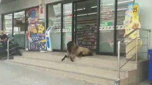 นักท่องเที่ยวฮือฮา !! แพะเฝ้าหน้าร้านสะดวกซื้อเมืองพัทยา