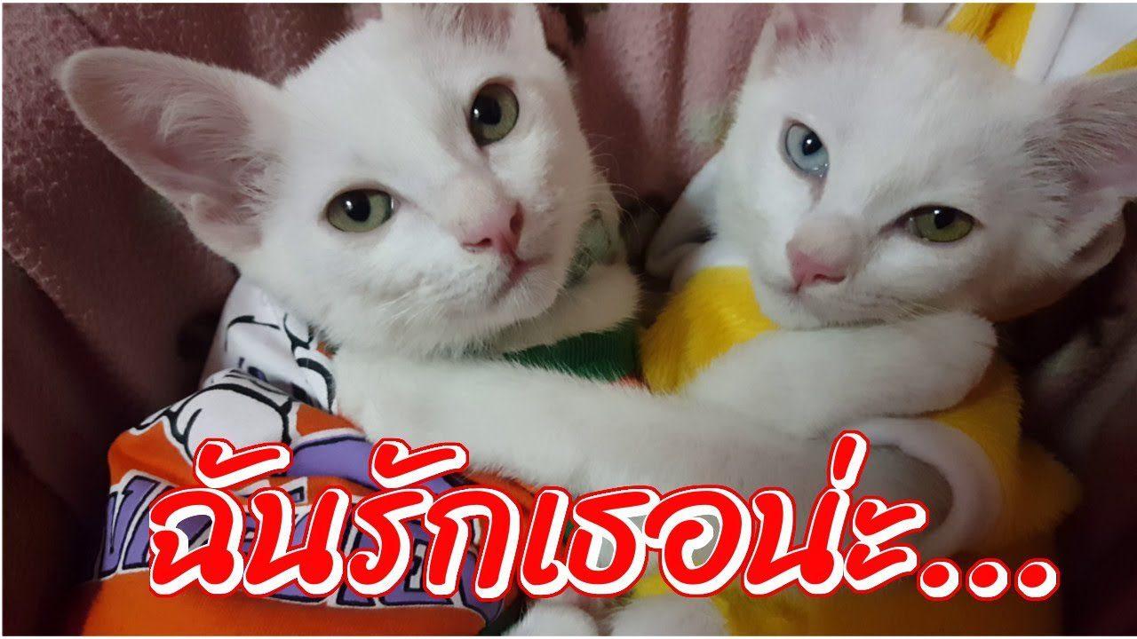 หนูชื่อ สโนว์ กับ นมสด เราเป็นพี่น้องกันค่ะ (แมวไทย ขาวมณี) | น้ำส้ม Vlog