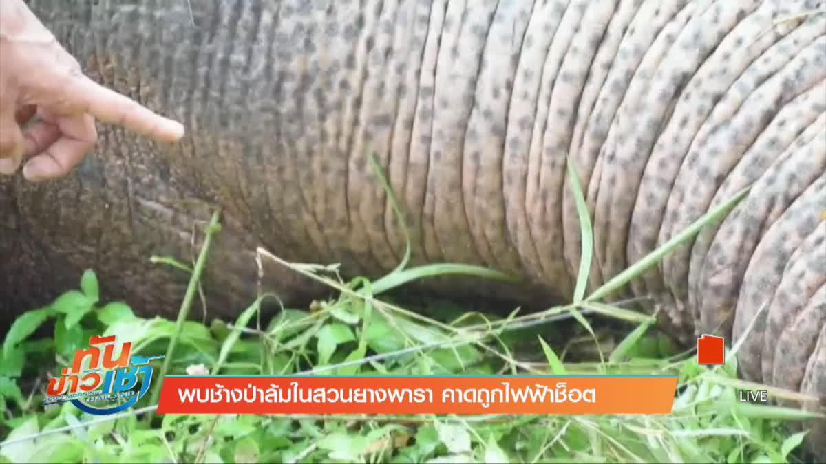พบช้างป่าล้มในสวนยางพารา คาดถูกไฟฟ้าช็อต