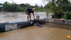 เกษตรกรเมืองเชียงใหม่สุดเซ็ง น้ำป่าหลากทำปลาตายยกกระชัง