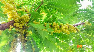 3 วิธีทำให้ ต้นมะยมลูกดก มีกินตลอดปี