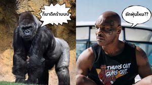 ขอเจอสักฝุ่น!! ไมค์ ไทสัน เผยเคยเสนอเงิน 310,000 บาท ให้สวนสัตว์เพื่อท้าชกลิงกอริลลา