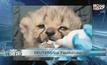 REUTERS : ลูกเสือชีตาห์เกิดใหม่ที่สวนสัตว์ในประเทศเยอรมนี