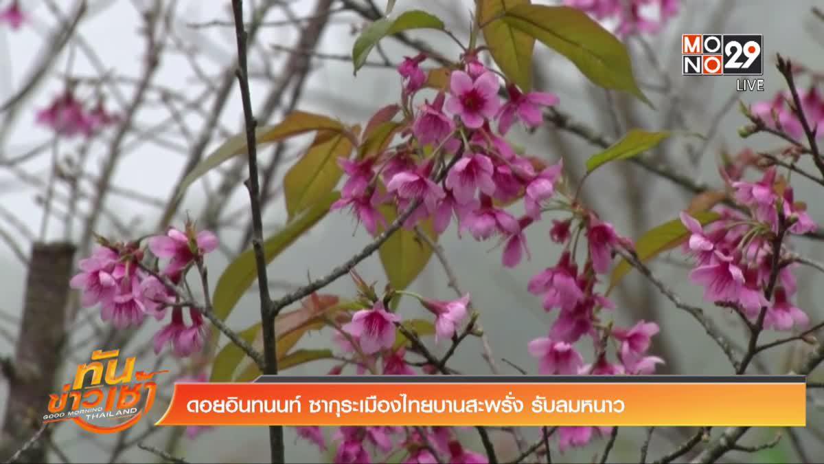 ดอยอินทนนท์ ซากุระเมืองไทยบานสะพรั่ง รับลมหนาว