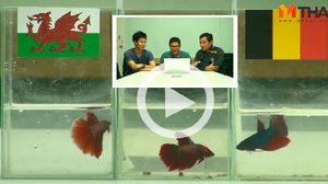 ซี้ซั้วฟันธง! ปลากัดทายผล ยูโร 2016 เวลส์ ปะทะ เบลเยียม (1 ก.ค.)